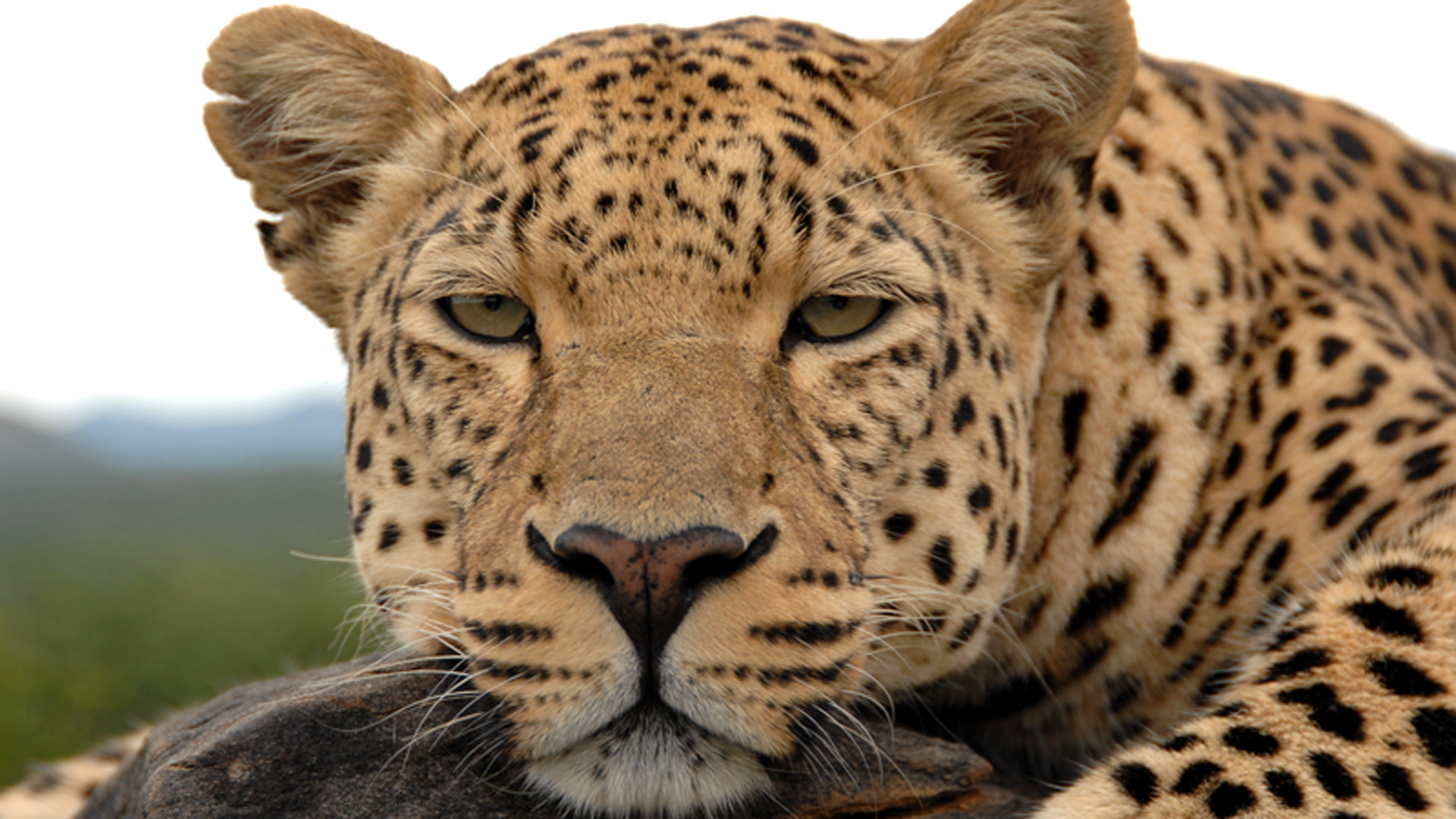Revealing the Leopard | Leopard Facts | Nature | PBS
