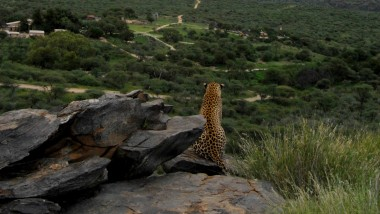 Leopards are Best at Going the Distance