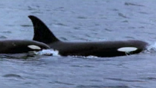 Killer Whales Attacking Sea Lions