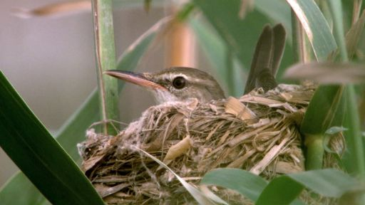 Animal Guide: Basra Reed Warbler