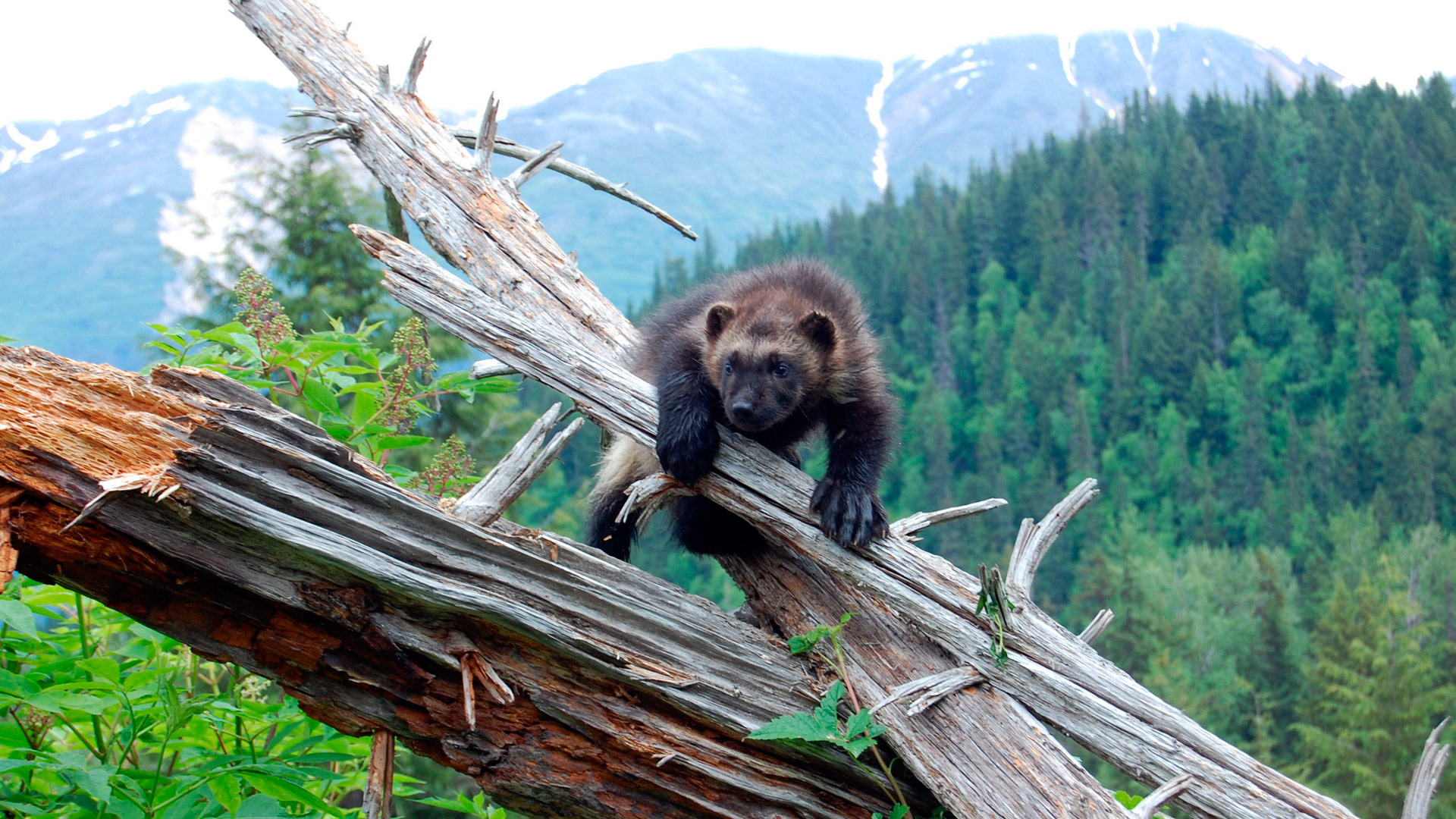 wolverine chasing the phantom wolverine facts nature pbs