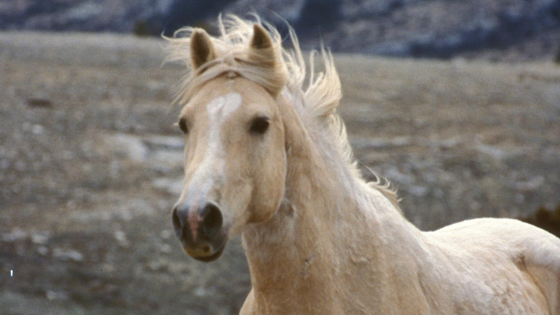 Cloud S Legacy The Wild Stallion Returns Wild Horse Roundups Why Are They Conducted Nature Pbs