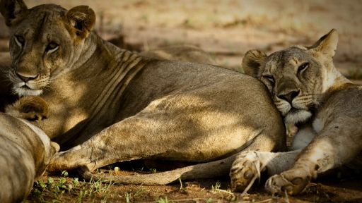 Did You Know? – Five Recent Lion Discoveries