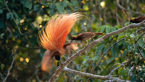 Birds of Paradise and Sexual Selection