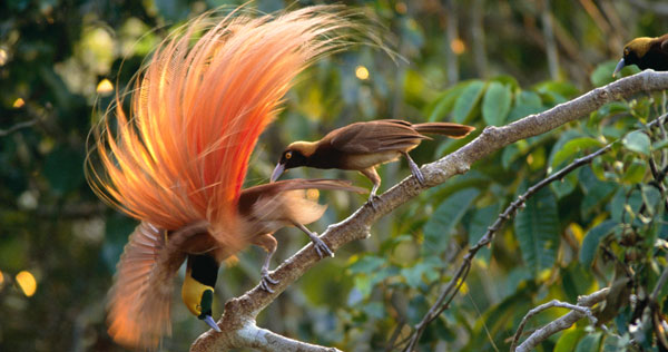 Birds of the Gods | Birds of Paradise and Sexual Selection