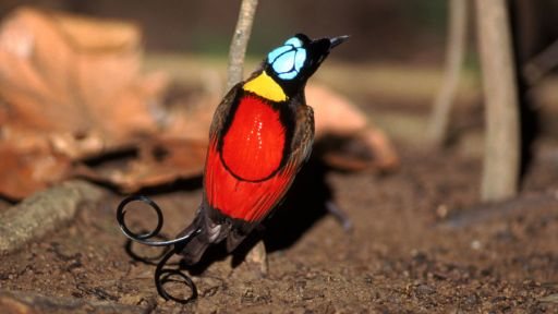 Birds of the Gods | Bird of Paradise Facts | Nature | PBS