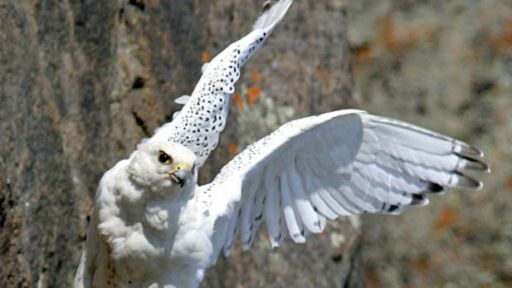 Mother Gyrfalcon on the Hunt