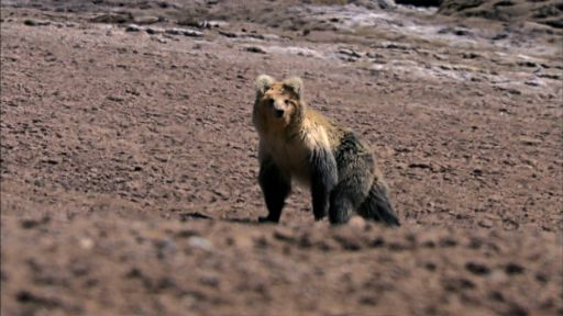 The Himalayas -- The Himalayan Bear and the Tibetan Fox