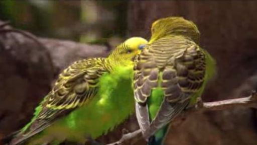 The Budgerigar Mating Game