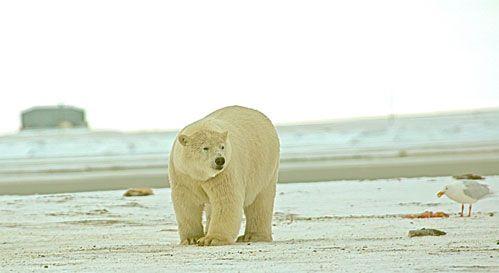 Hour Three: Arctic Wanderers