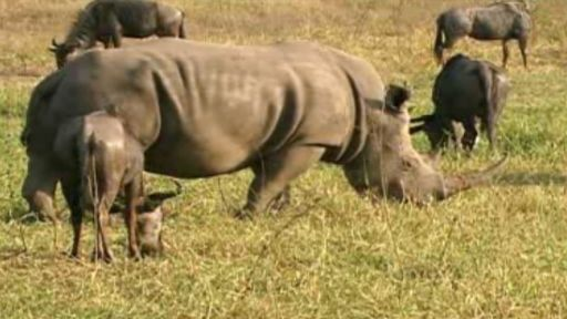 Rhino Horn Use: Fact vs. Fiction