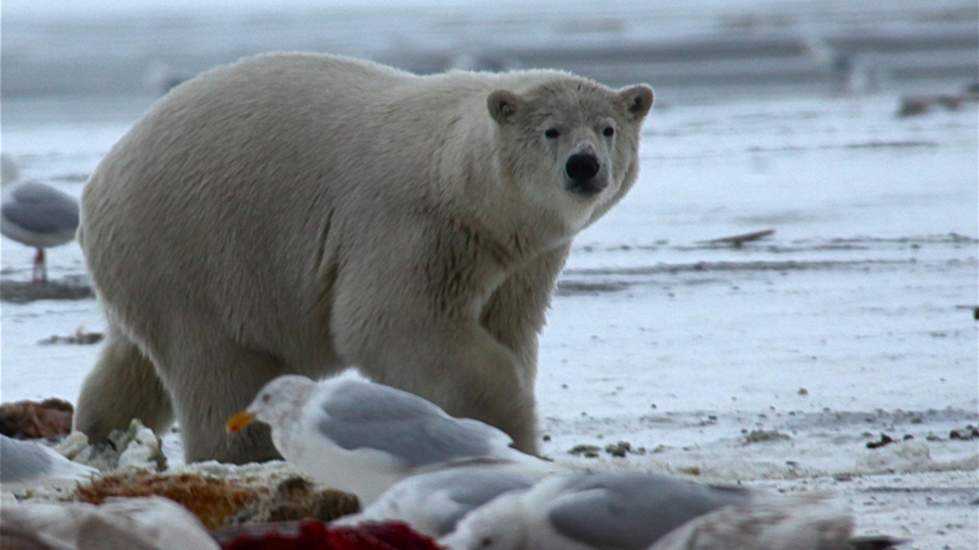 Bears of the Last Frontier   Polar Bear Fact Sheet   Nature