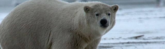 polarbearfact