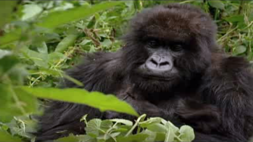 research paper gorillas Using mountain gorillas as an example, this paper examines the literature and research regarding mountain gorilla health and welfare in the wild drawing on the possible shortcomings of current protocols and the potential health risks of these issues, this paper suggests some avenues for further research.