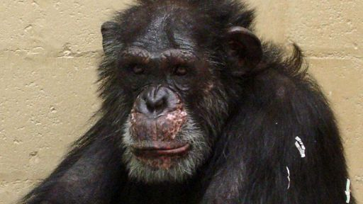 Save the Chimps Pays Tribute to Lou (July 2011)