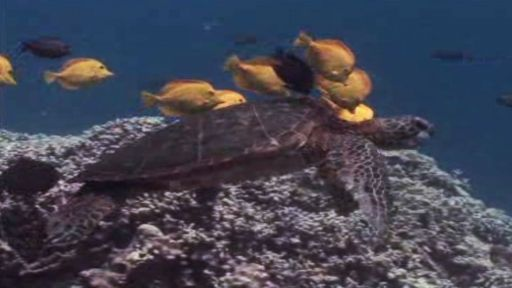 Green Turtle Recovery Program