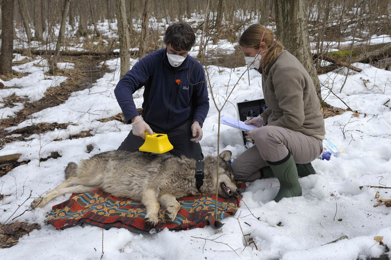 Radioactive Wolves | Gallery | Nature | PBS