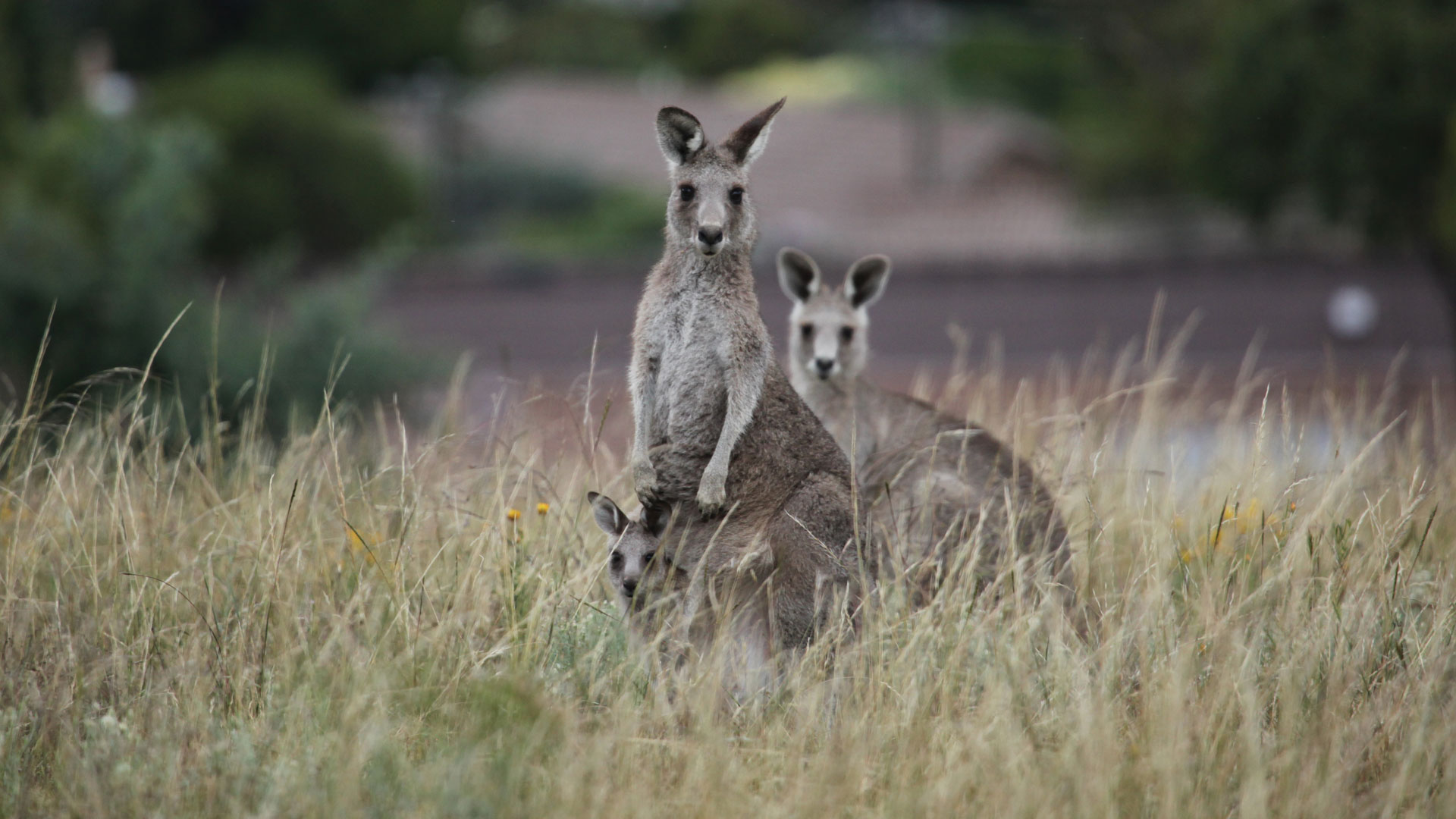 Kangaroo Mob | Kangaroo Fact Sheet | Nature | PBS