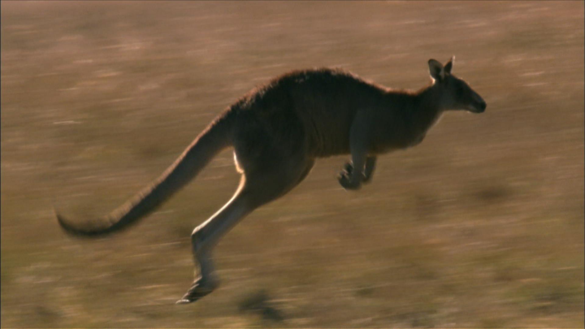 Kangaroo Mob | Marsupials: The Evolution Backstory | Nature | PBS
