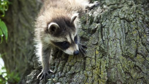 Raccoon Facts