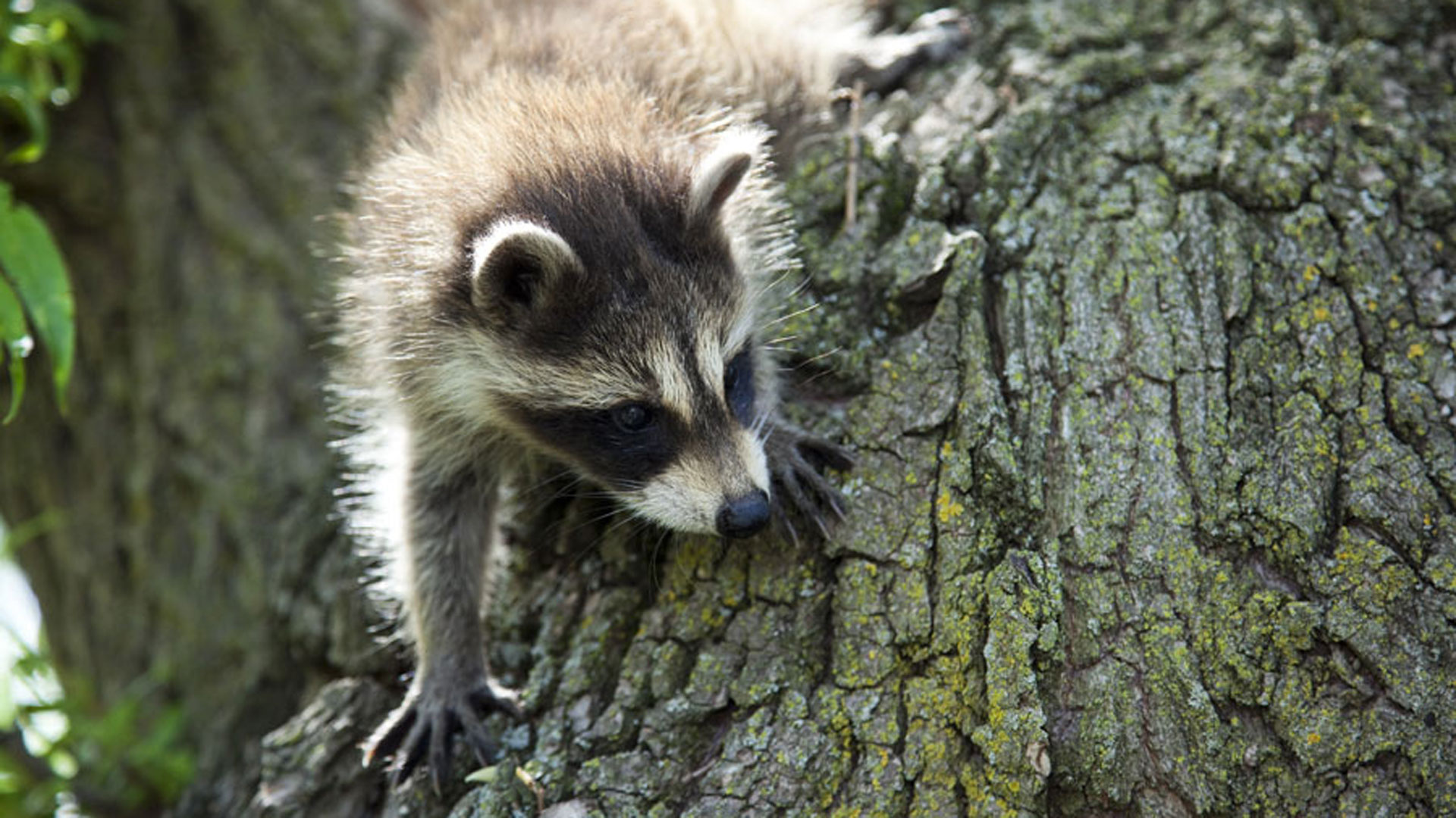 Raccoon nation raccoon fact sheet nature pbs for Do raccoons eat fish