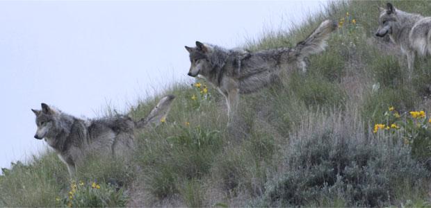 River Of No Return Gray Wolf Fact Sheet Nature Pbs