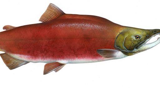 Salmon Fact Sheet