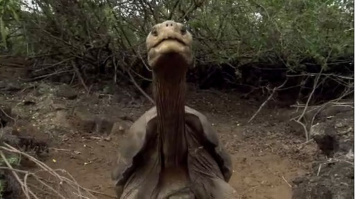 The giant tortoise Lonesome George