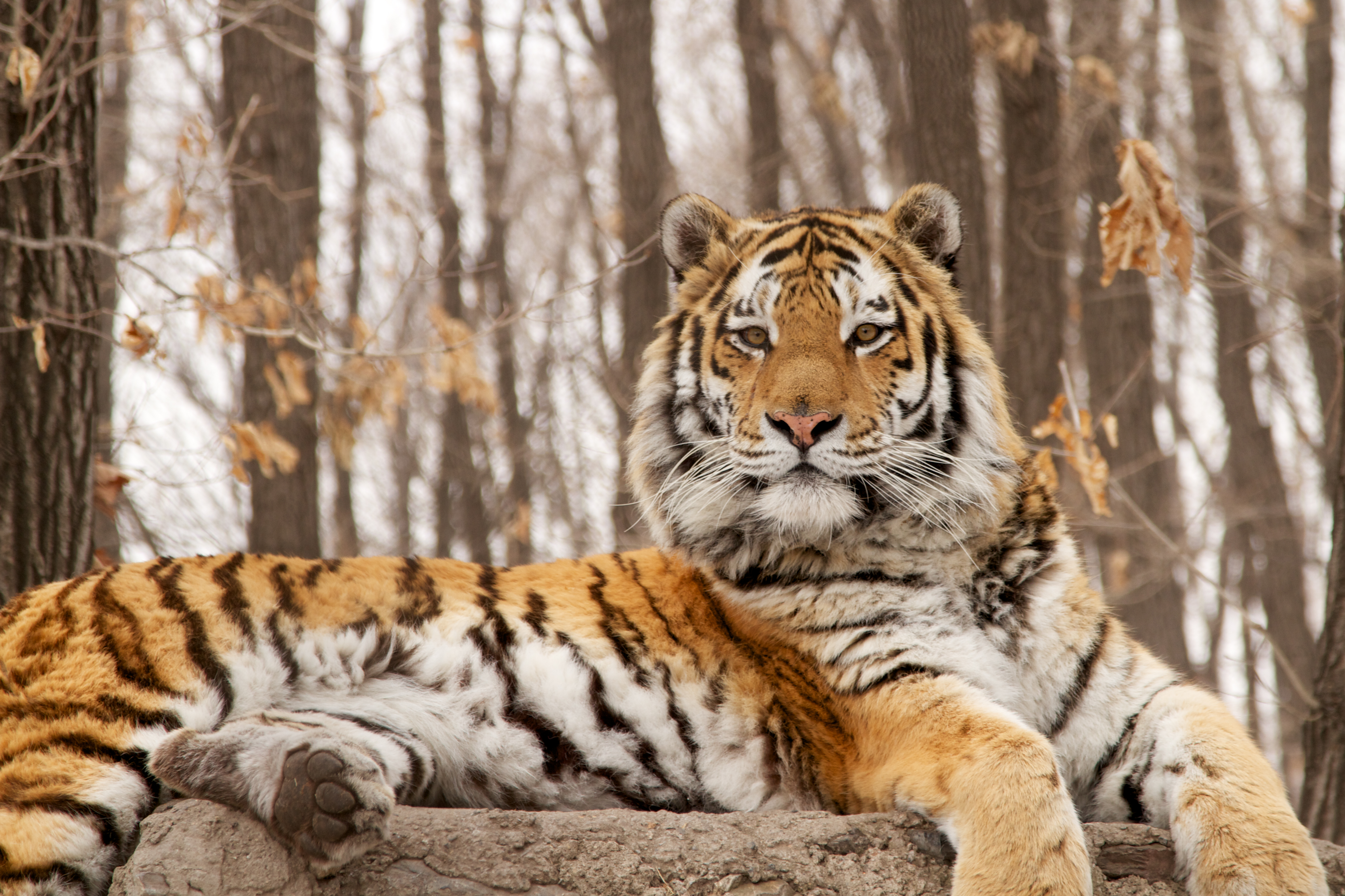 the bengal tiger a documentary full biography