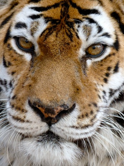 Chris Morgan's Siberian Tiger Photo Album