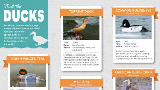 Infographic: Meet the Ducks