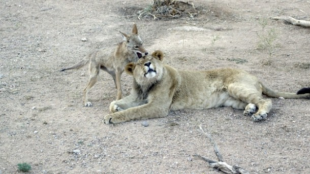 Riley (coyote) plays with Anthony (lion).