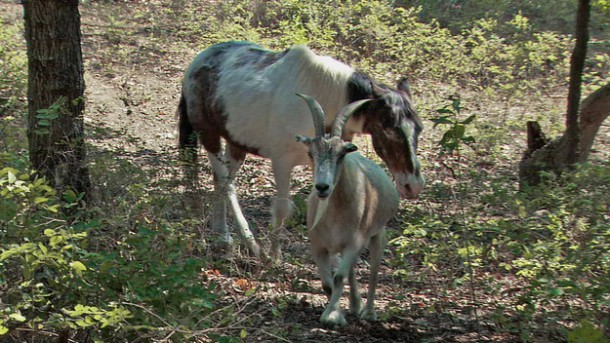 Jack (the goat) and Charlie (the horse), go for a stroll. Charlie is blind, so Jack helps him get around.