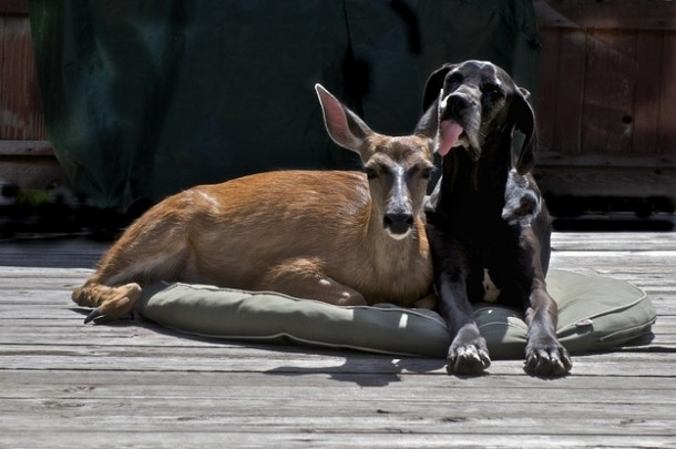 Pip (doe) often visits Kate, her surrogate Great Dane mother for quality time.
