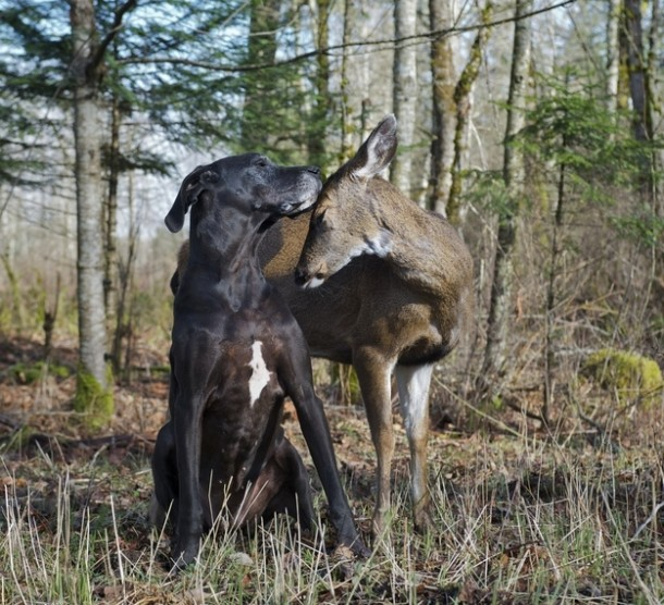 Pip (doe) and Kate, her surrogate Great Dane mother, showing some love.
