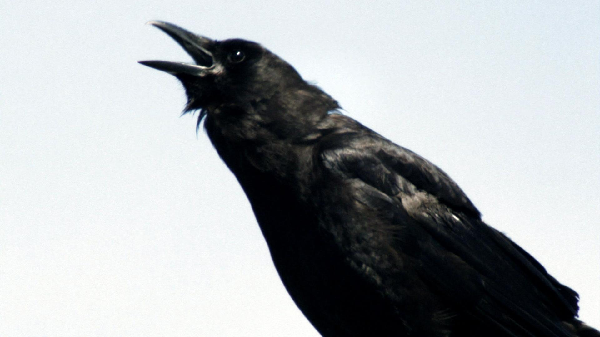 Murder of crows full episode nature pbs