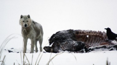 "an introduction to the nature of the wolves Wolves, bears, lynxes, and boars  while supporters of predator-reintroduction programs believe in the concept of restoring the ""balance of nature,"" it's not."