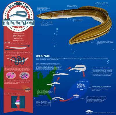 Infographic: All About the American Eel