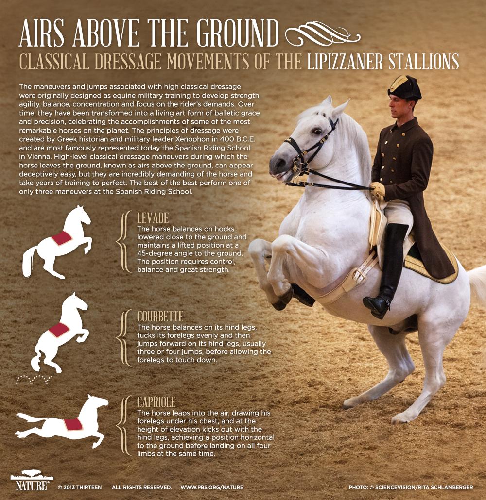 Lipizzaner Stallions, PBS Nature's Legendary White Stallions