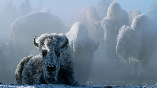 Christmas in Yellowstone | Full Episode | Nature | PBS