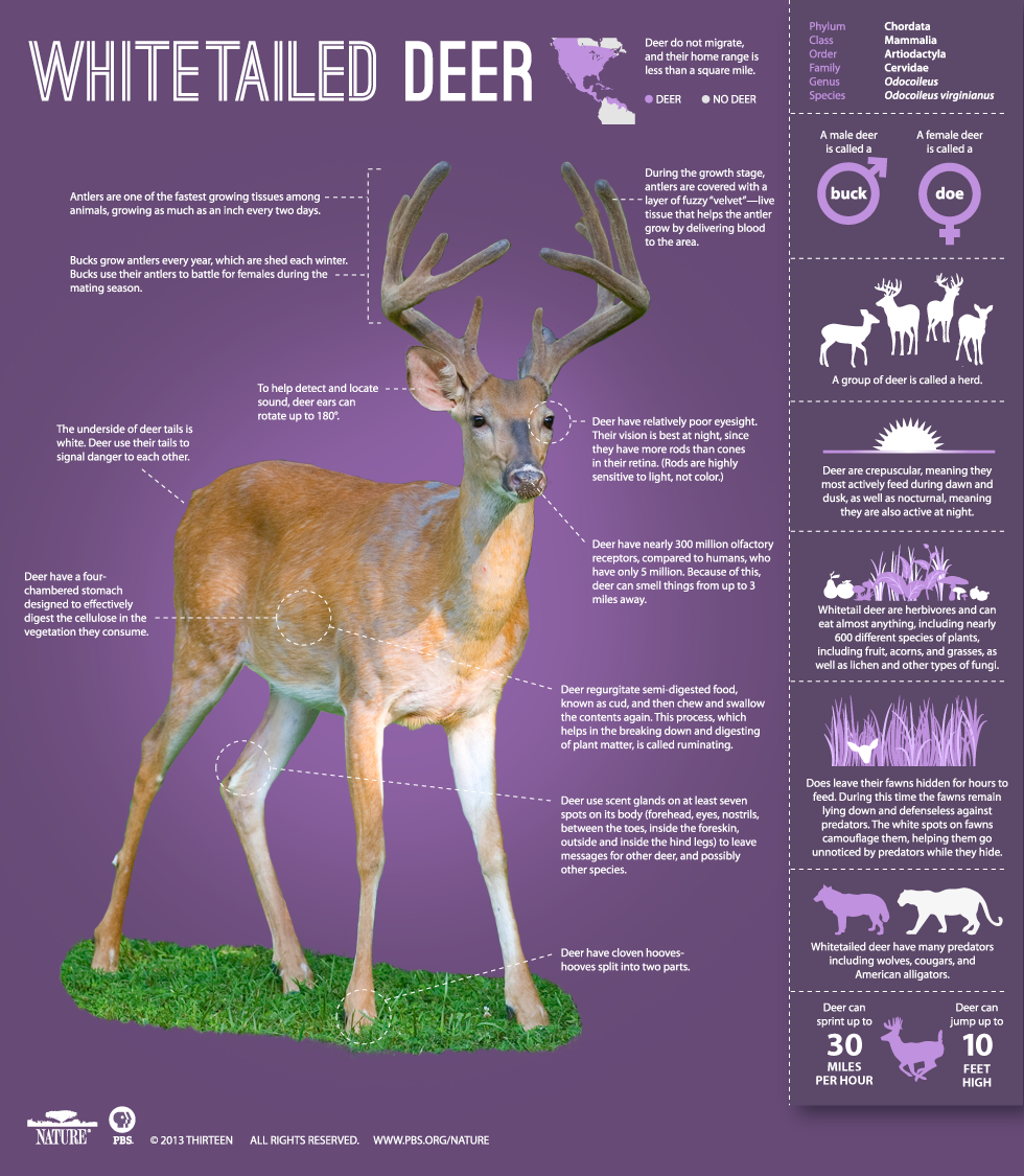 The Private Life Of Deer Infographic Learn About The Whitetailed Deer Nature Pbs