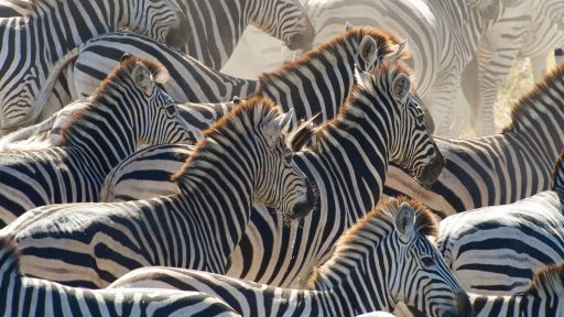 Zebra Ranching