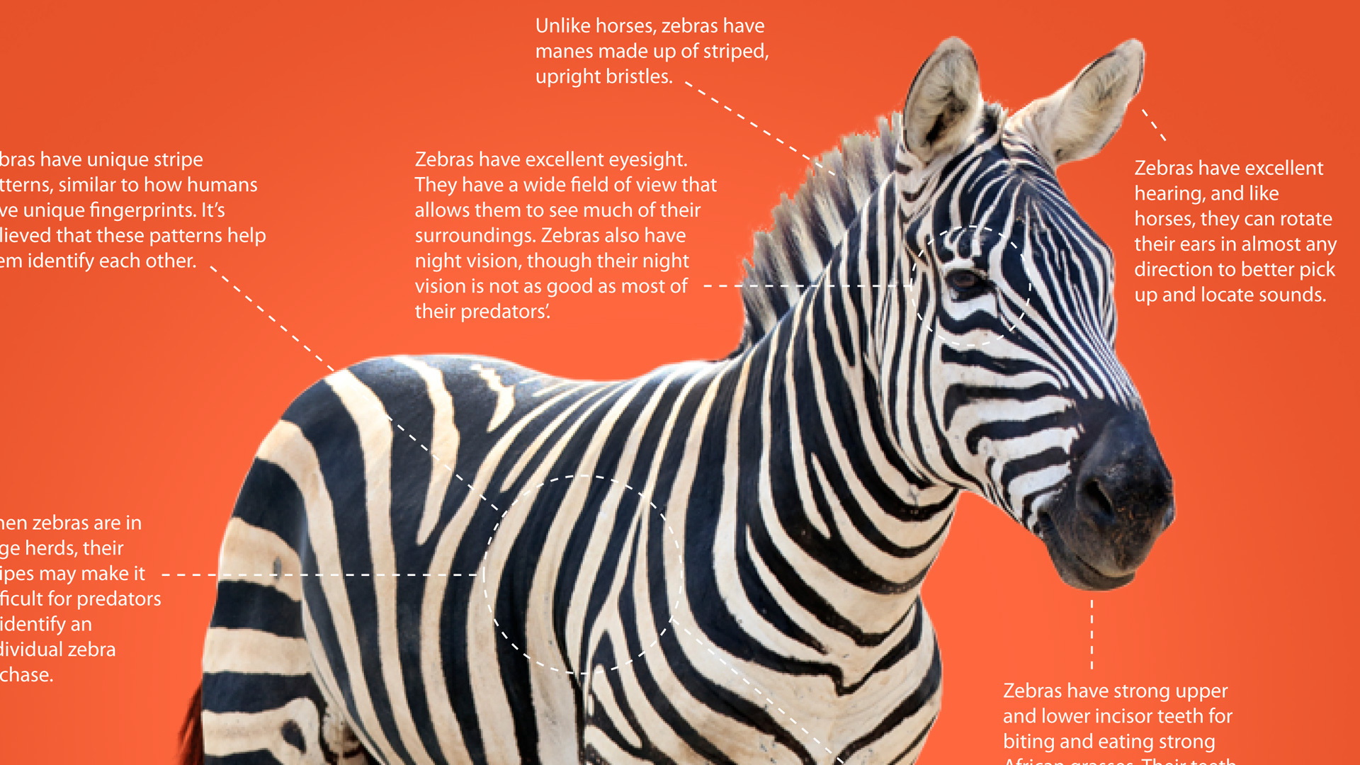 How the zebra got its stripes is not only a justso story but an object of scientific inquiry New research suggests that stripes help zebras evade biting flies and the deadly diseases they carry