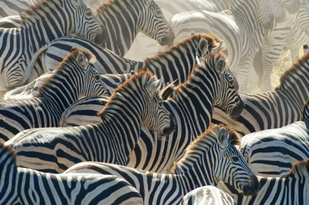 Zebras, PBS Nature's Great Zebra Exodus