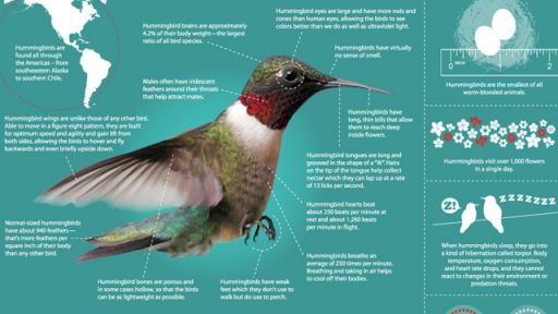 Infographic: All About Hummingbirds