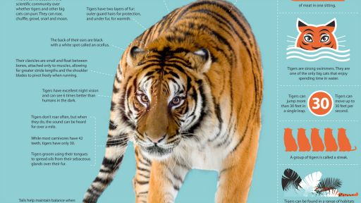 Infographic: All About Tigers