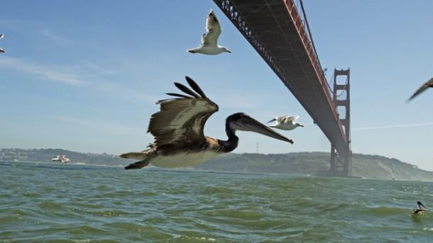 Brown pelicans flying under Golden Gate Bridge, San Francisco, USA