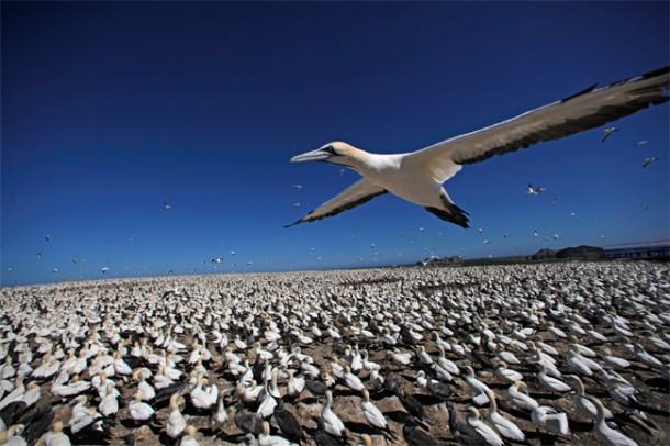 Cape gannet flying over gannet colony, Bird Island, South Africa