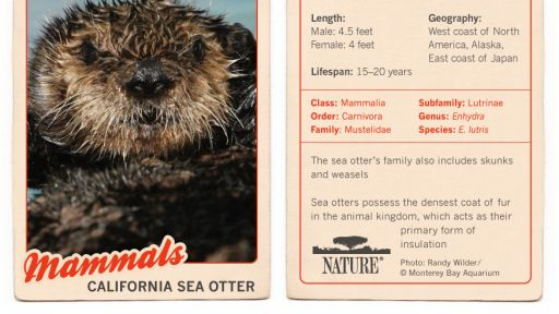 Infographic: California Sea Otter