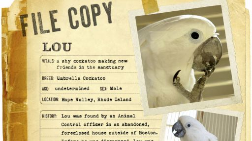 Infographic: Lou, the Umbrella Cockatoo fact sheet